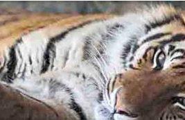 Картина на стекле Тигр